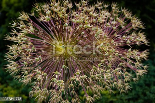 Allium Schubertii  (Known By The other Names Ornamental Onion Or Flowering Onion Or Persian Onion).