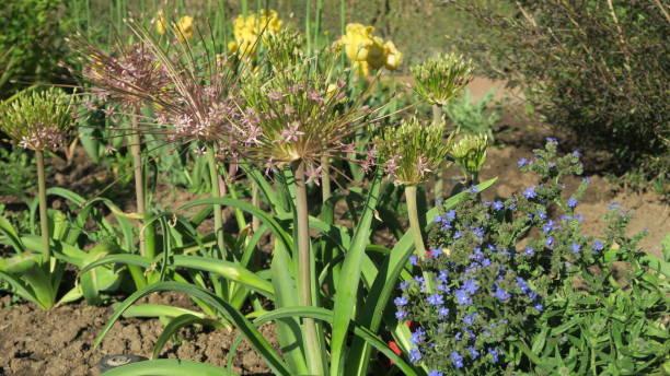 Allium Schubertii stock photo