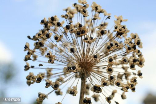 Large allium seed head - with seeds