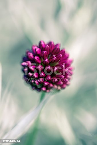 allium small flower from sweden nature