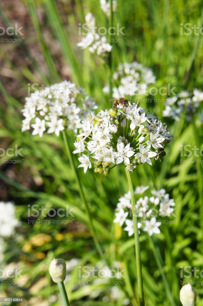 Allium tuberosum monstrosum or garlic chives white flowers plant with green stock photo