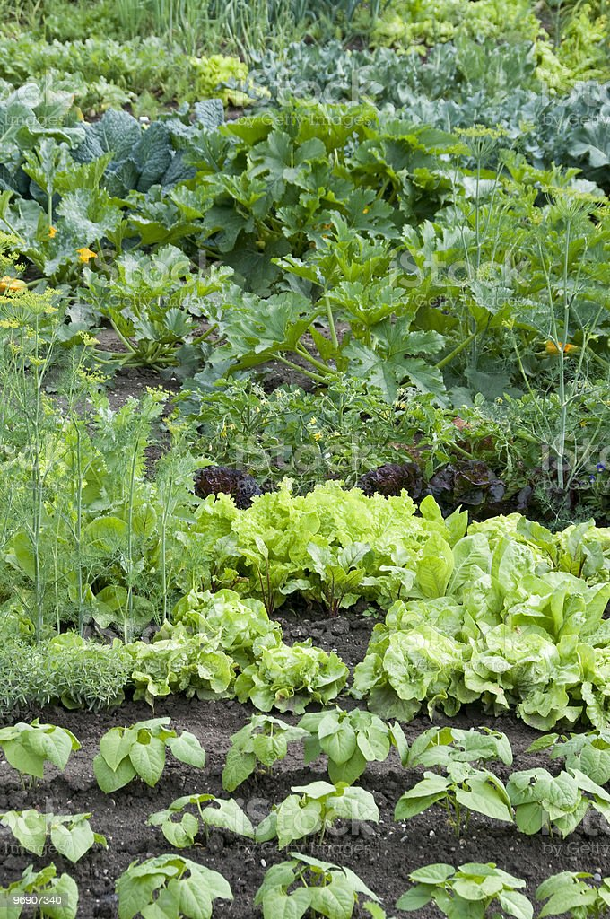 Allotment garden with several kinds of plants growing royalty-free stock photo
