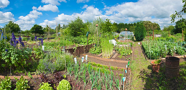 Allotment in full bloom.  community garden stock pictures, royalty-free photos & images