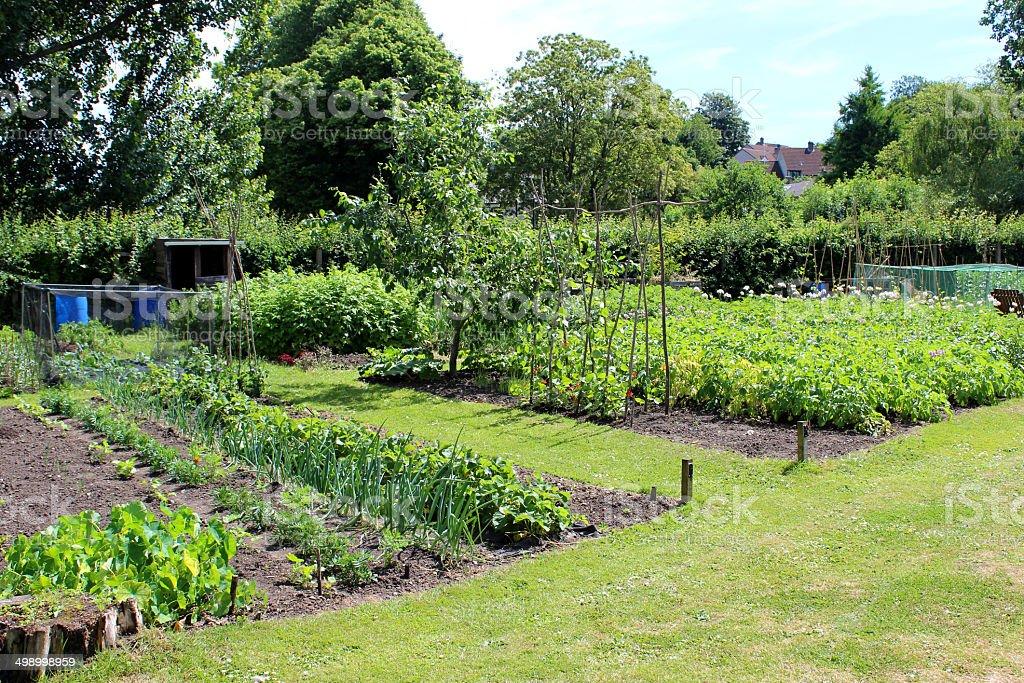 Allotment Vegetable Garden, Marigolds / Companion Plants, Onions, Lettuce,  Runner Beans Royalty