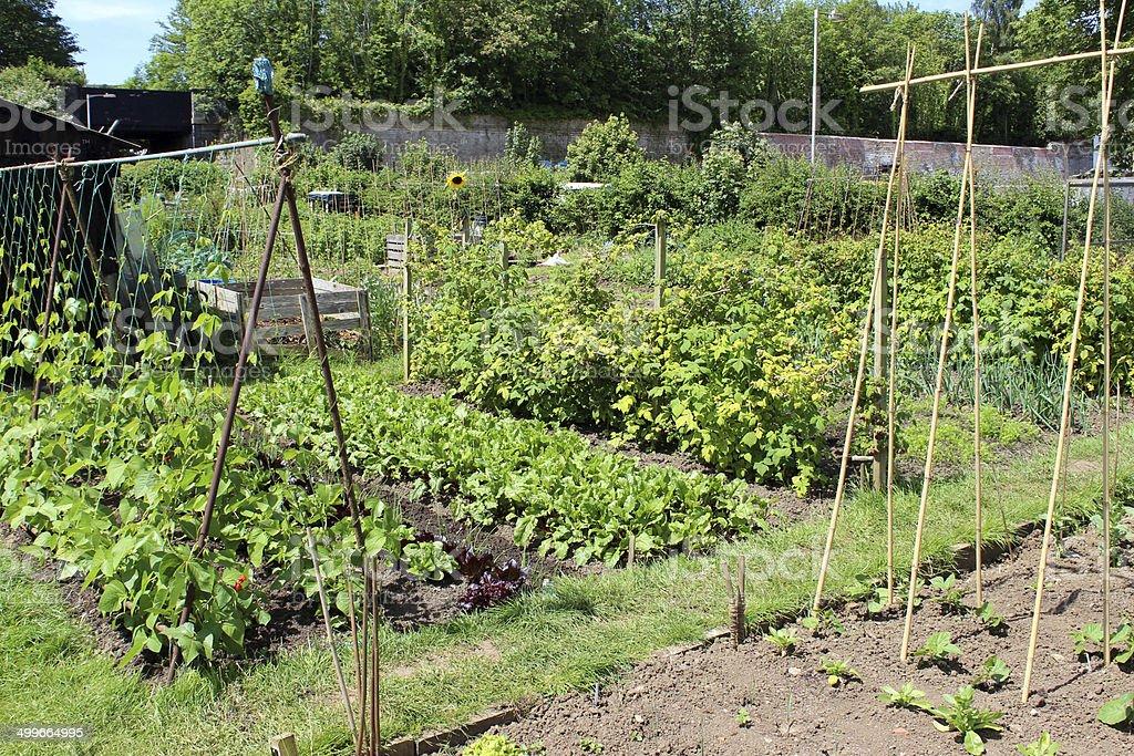 Allotment vegetable garden, runner bean plants, wigwams, bamboo canes,. lettuce stock photo