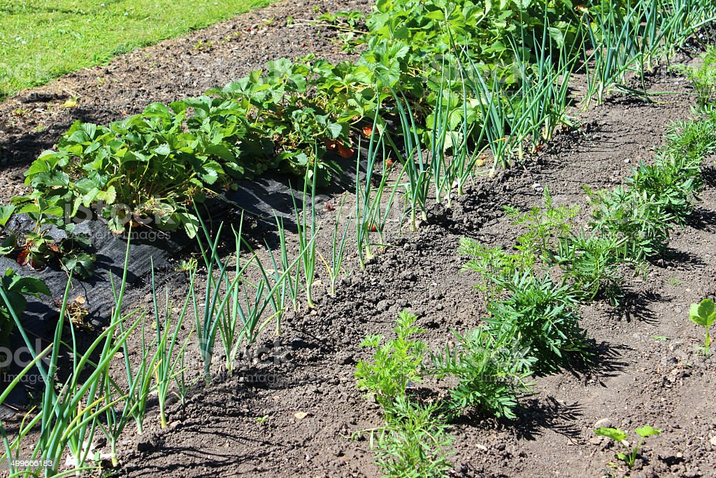 Allotment Vegetable Garden With Marigolds / Companion Plants, Onions,  Strawberry Plants Royalty Free
