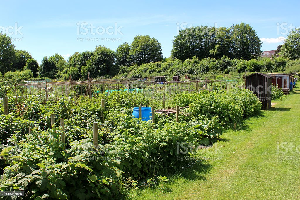 Allotment Vegetable Garden With Raspberry Plants, Crops, Sheds, Weeds,  Overgrown Royalty