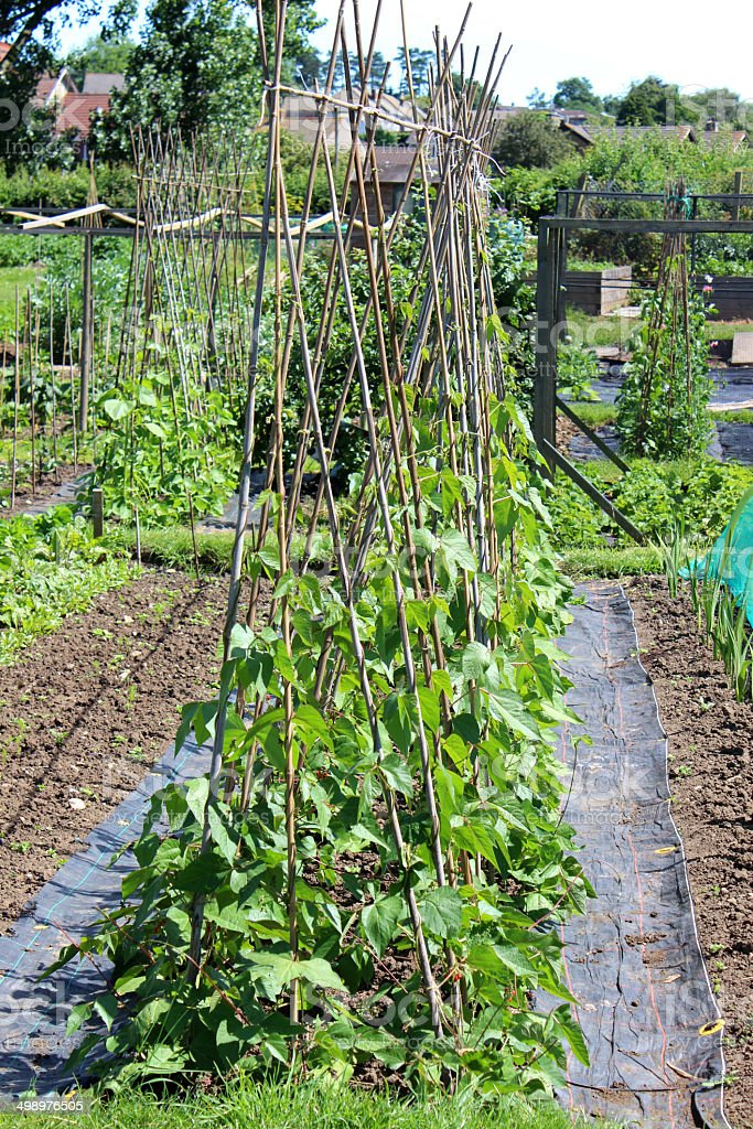 Allotment vegetable garden with runner bean plants, weed blanket image royalty-free stock photo