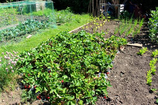 615599804 istock photo Allotment vegetable garden with strawberry plants, lettuce, onions, runner beans 499659597