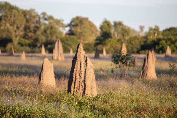 Alluvial Termites Mounds Picture shows landscape with alluvial termites mounds in the wilderness of Australia Northern Territory. termite stock pictures, royalty-free photos & images