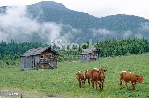 Alm meadow, Austria, 1979. Alm meadow with cows in the Austrian mountains.