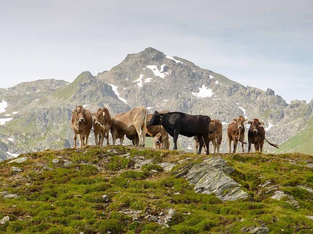 Almkühe auf einem Berg – Foto