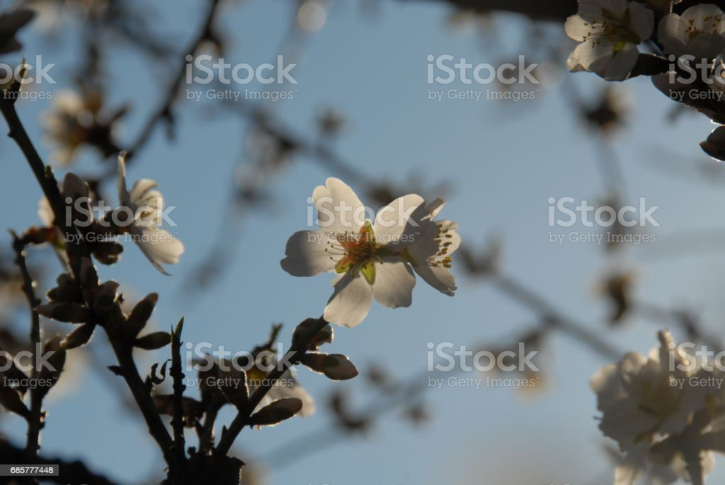 Mandelblüte in Spanien royalty-free stock photo