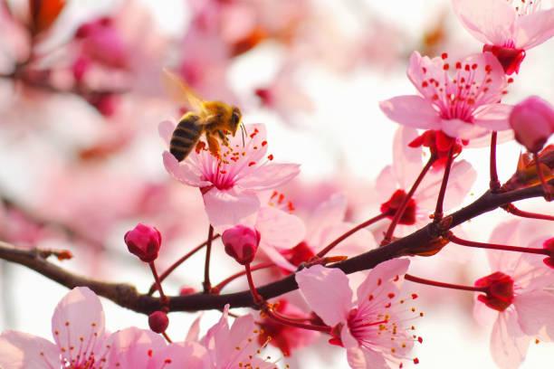 Mandelblüte im Frühling – Foto