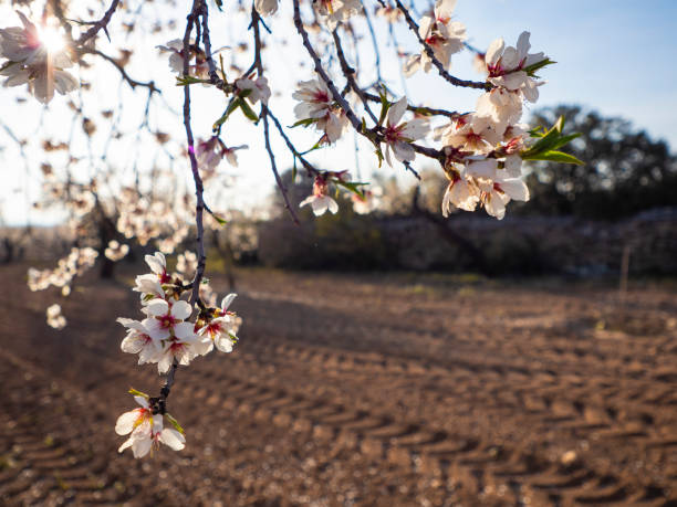 Almond blossom in the field with a ray of light picture id1299642474?b=1&k=6&m=1299642474&s=612x612&w=0&h=ym q fjsn1e8ivlocigpcftisokf  i1y  kcj1qmhw=