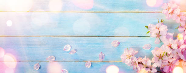 almond blossom on blue wooden plank - sakura background stock photos and pictures