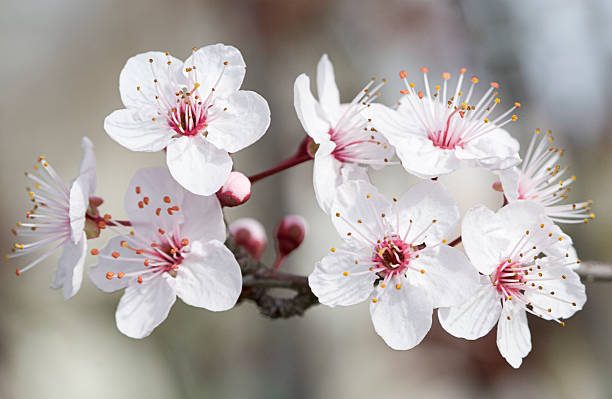 Almond blossom stock photo