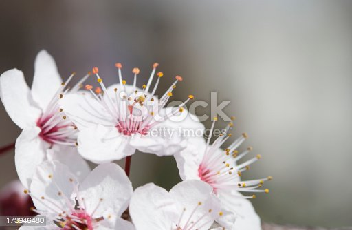 Macro of almond blossoms against a gray background.  Shallow depth of focus with main focus on stamens.