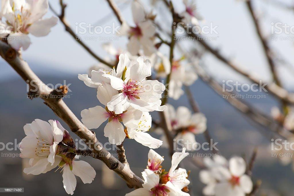 Almond Blossom – Foto