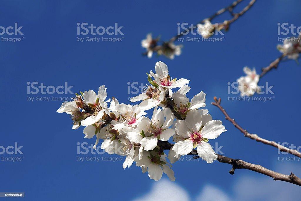 Almond kwiat zbiór zdjęć royalty-free