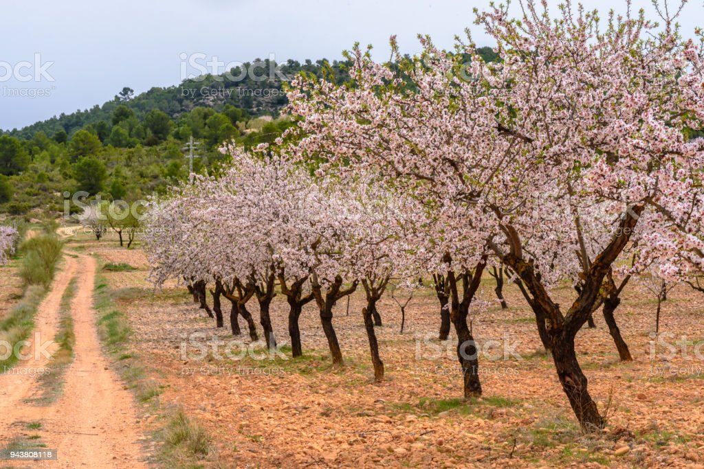 Almond blossom walk towards the old houses stock photo