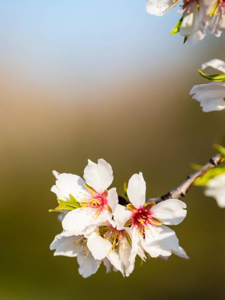 Almond blossom with blur background in blue and brown picture id1299641112?b=1&k=6&m=1299641112&s=612x612&w=0&h=plsxke2jv1zficirdf5pwzrrliz6 beluqjvq2urt7e=