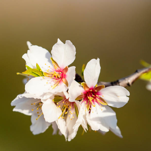 Almond blossom with blur background in green and brown picture id1299641110?b=1&k=6&m=1299641110&s=612x612&w=0&h=t7weqxlglo534z43aydt8gfpipcqbzxji5hijuwuefe=