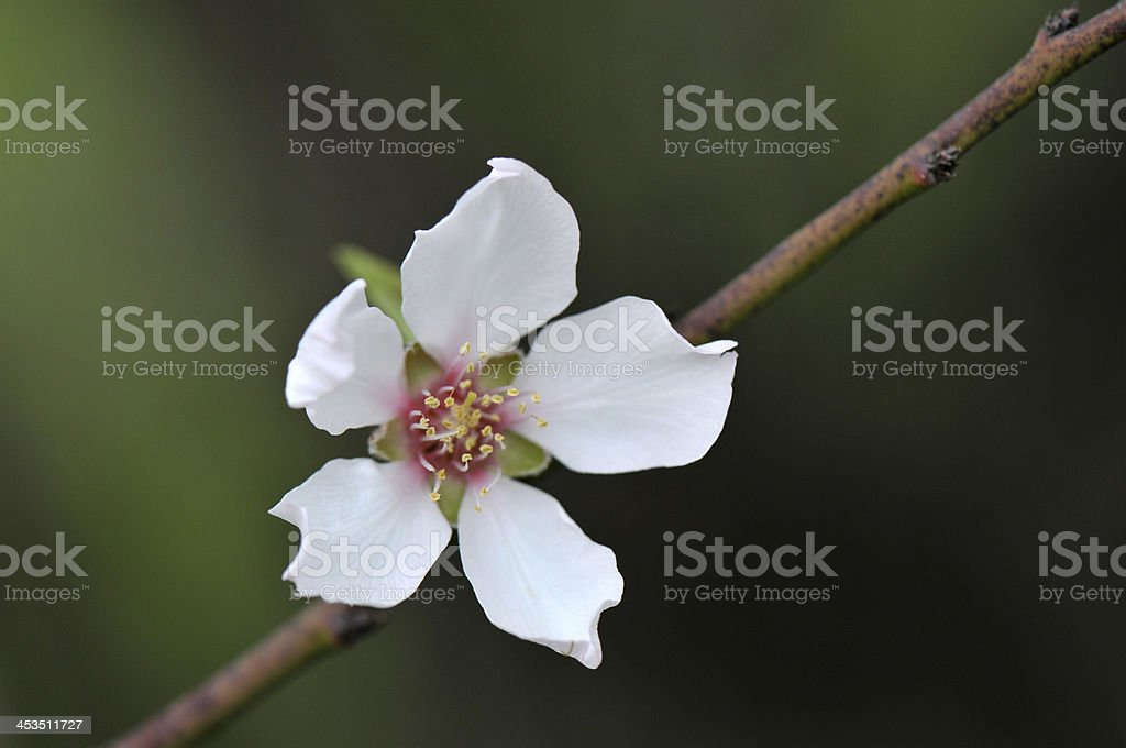Almond blossoming royalty-free stock photo