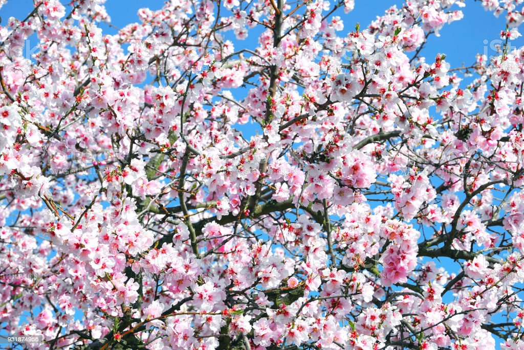 Almond Blossom,Palatinate,Germany stock photo