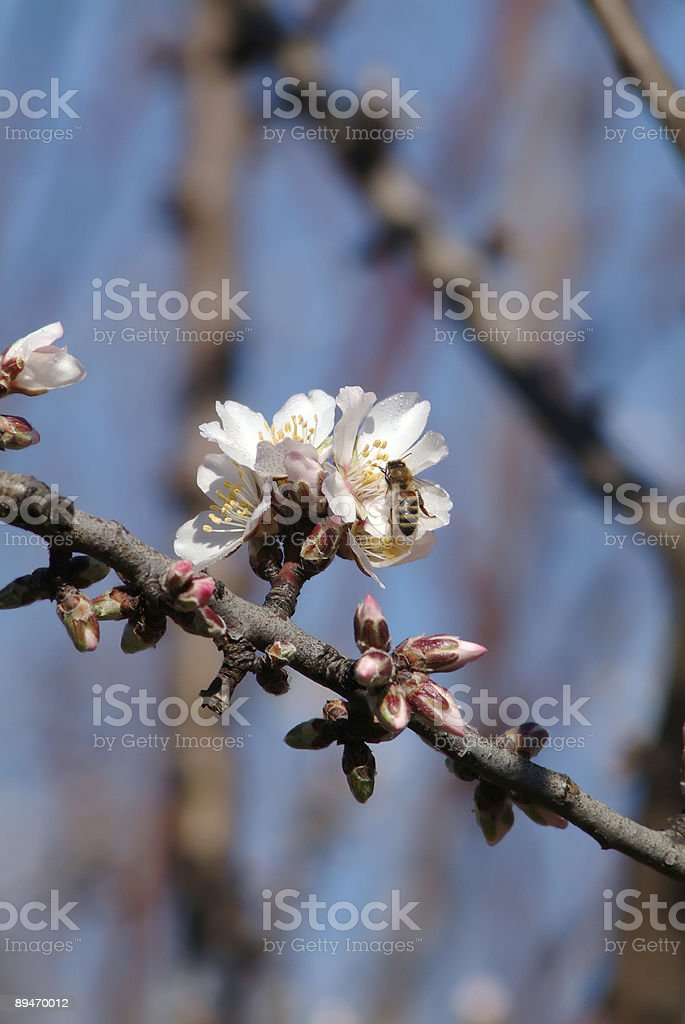 almond blossoms and bee royalty-free stock photo