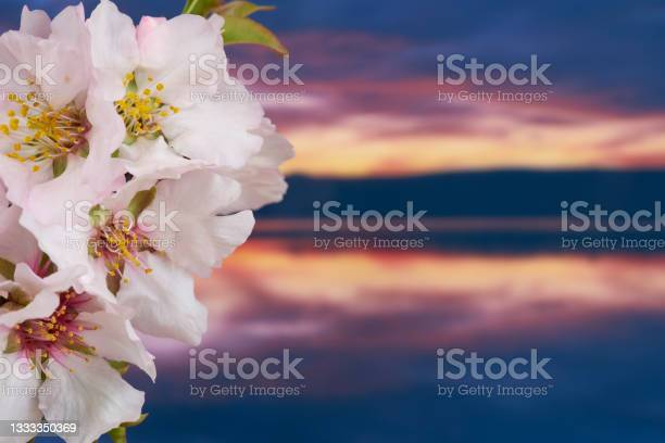 Photo of almond blossoms in a sunset of a lagoon, Spain