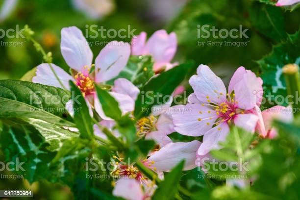 Almond blossoms in the grass picture id642250954?b=1&k=6&m=642250954&s=612x612&h=mlsnzvwsqfzoexaubkrqvhspc5nppnu edt02riydri=