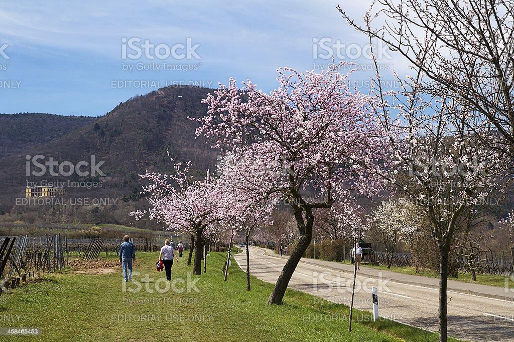 Almond blossoms in the Southern Palatinate, Rhineland-Palatinate stock photo