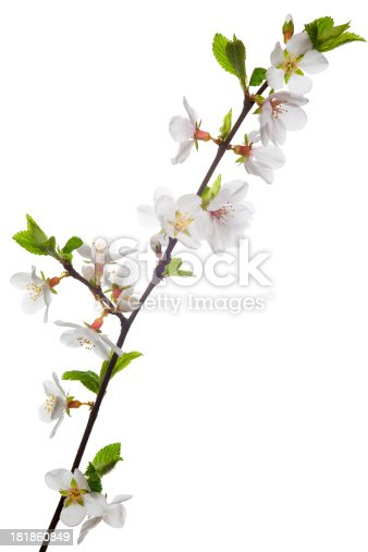Flowering almond  branch