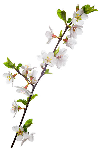 Almond blossoms stock photo
