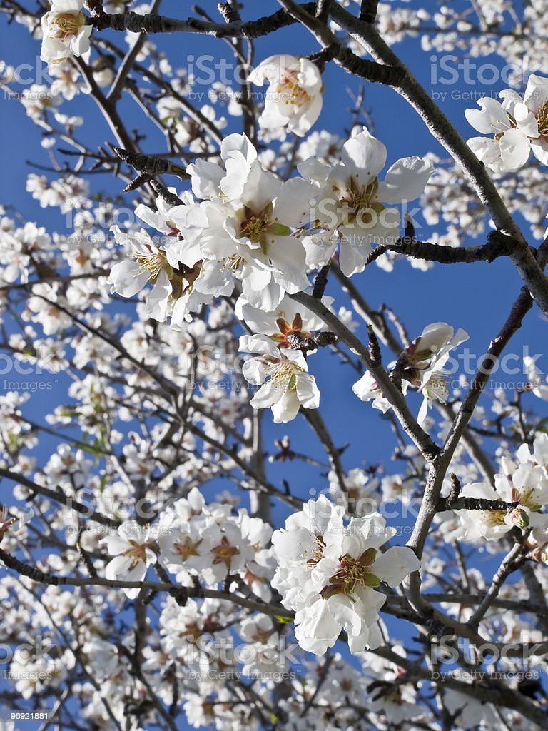 Almond blossoms under a blue sky royalty-free stock photo
