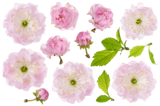 amandel bloem geïsoleerd. set van lente roze amandel bloemen, bud en groene blad geïsoleerd op witte achtergrond, close-up - bloemhoofd stockfoto's en -beelden