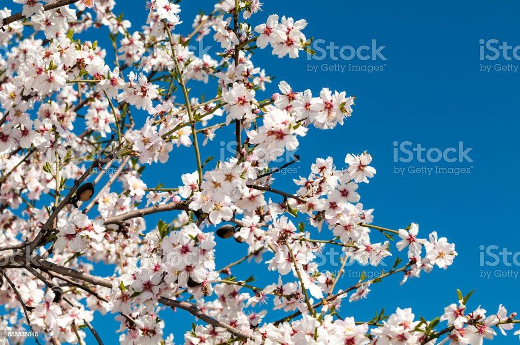 Almond-Blume – Foto