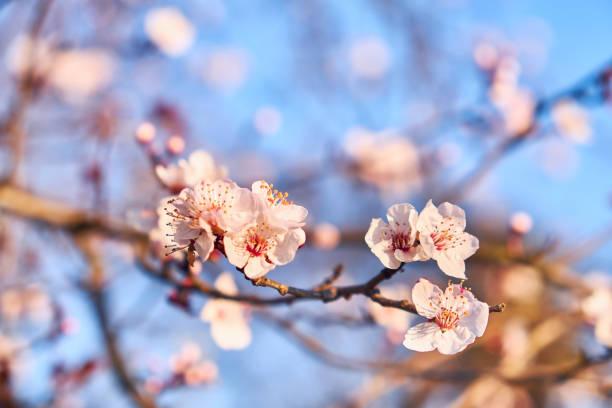 在藍天上的杏仁花, - 在開花 個照片及圖片檔