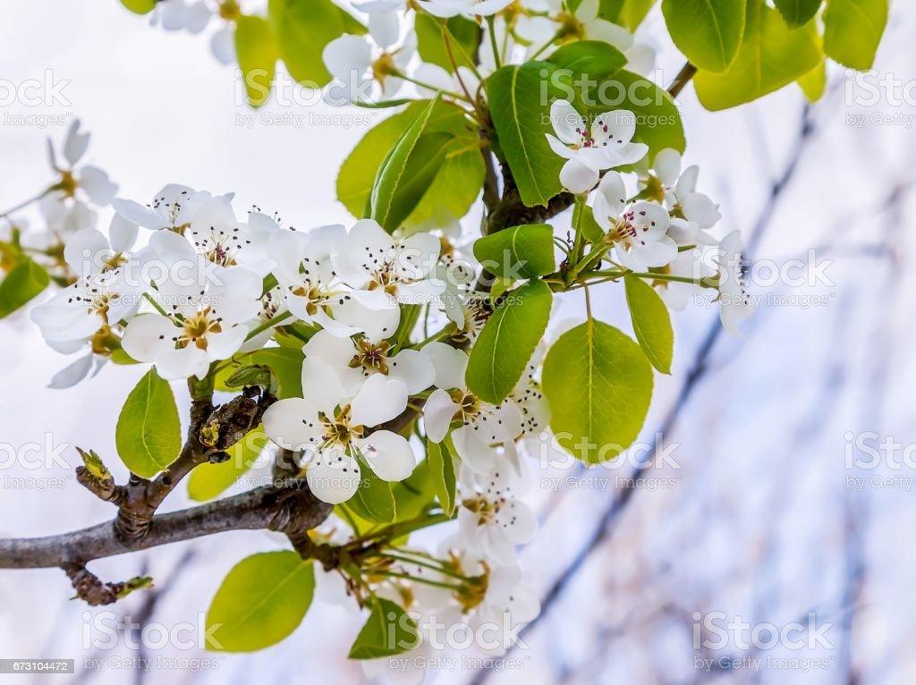 Almond Flowers stock photo
