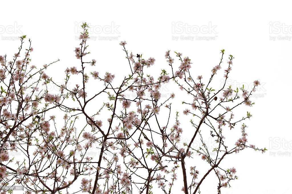 almond flowers spring stock photo