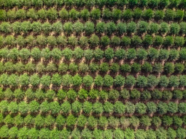 almond grove in northern california - frutteto foto e immagini stock