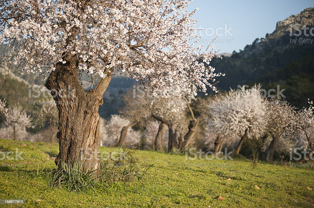 Almond grove in the spring time Almond tree field in Majorca, Balearic Islands, Spain. Agricultural Field Stock Photo
