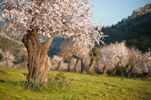 Almond Grove In The Spring Time Stock Photo - Download Image Now