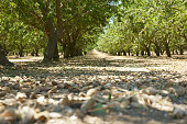 almonds freshly harvested in the shell on the floor of the orchard.