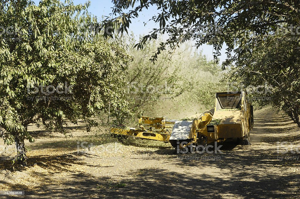Almond Harvest process of Shaking Nuts Off Trees stock photo