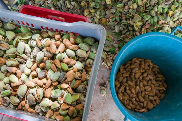 amandel oogsttijd - noto sicilië stockfoto's en -beelden