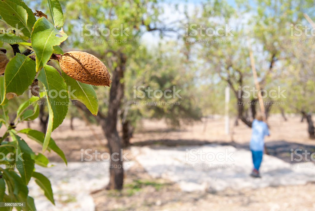 Almond harvest time stock photo