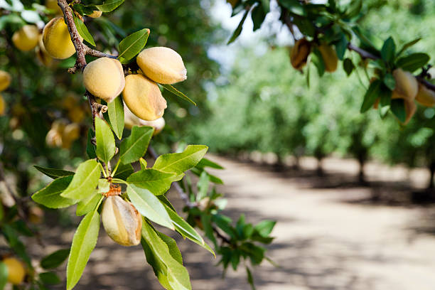 almond nuts growing on a tree at a farm in california - almond stock photos and pictures