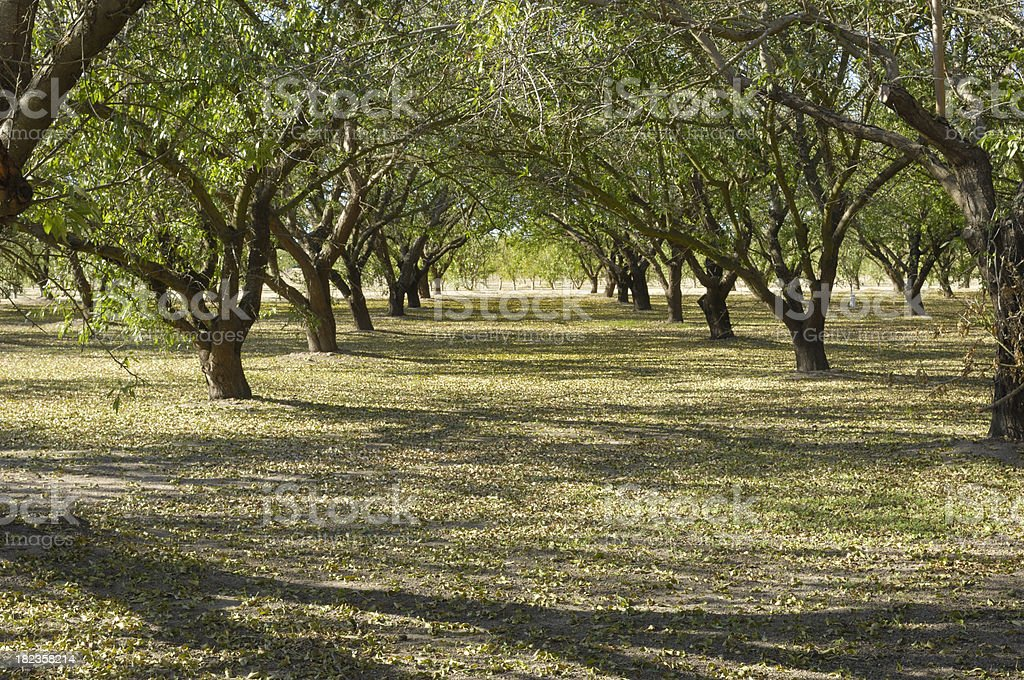 Almond Orchard After Harvest stock photo